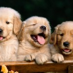 psíky